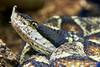 The Sharp Nosed Viper ~ Deinagkistrodon