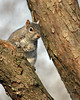 Grey Squirrel @ Home  - March 2011
