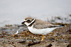"""Juvinile """"Semipalmated Plover""""<br /> These birds forage for food on beaches, tidal flats and fields, usually by sight. They eat insects, crustaceans and worms."""