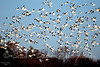 The Migration of the Snow Geese