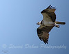 This Osprey is in full hunting mode, flying over the water, soon to swoop down and pull a fish right out of the water.