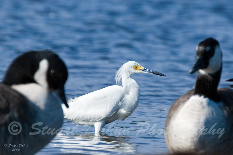 The Snowy Egret (Egretta thula)<br /> <br /> Found along much of the East Coast and elsewhere in the U.S., snowy egrets main foods are fish, crabs, amphibians, and insects.