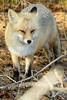 Red Fox ~ Vulpes vulpes, Island Beach N.J.