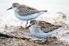 The Least Sandpiper (Calidris minutilla) breeds widely across northern Canada and Alaska and winters across the southern United States and Mexico. It can be one of our most abundant shorebirds.