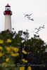 Mute Swans in flight by the Cape May light house.