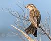 Juvenile female Red Winged Blackbird