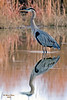 """Natures Symetry"" <br /> This Heron slowly wades through the water hunting for his breakfast."