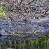 Alligator @ Blackpoint Wildlife Drive, Merritt Island NWR - Feb 2018