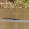 Alligator @ Estero Llano Grande SP, TX Mar 2018