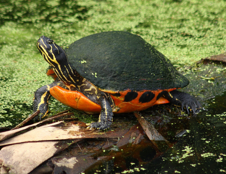 Chicken turtle taken at Green Cay