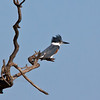 Belted King Fisher