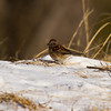 American Tree Sparrow.