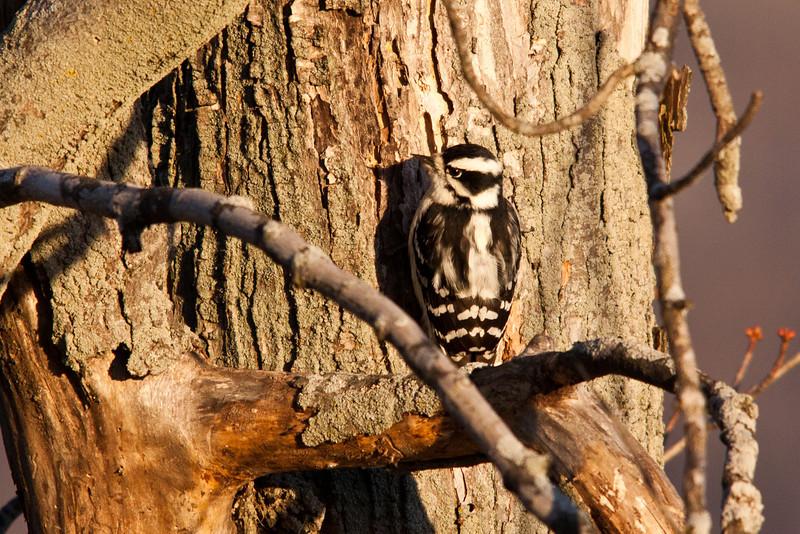 Hairy Woodpecker Hen
