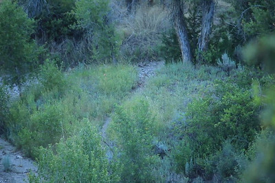 7 coyote feeding in dry creek bed