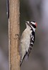 Downy Woodpecker (Picoides pubescens), March 28, 2014