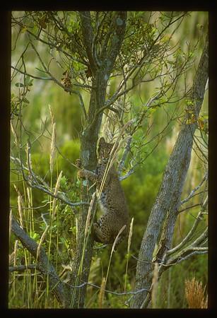 Bobcat (Lynx rufus), northern Everglades