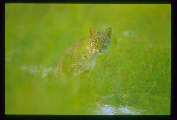 Bobcat, Everglades