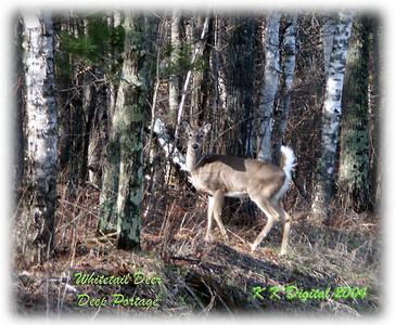 Minnesota Whitetail Deer