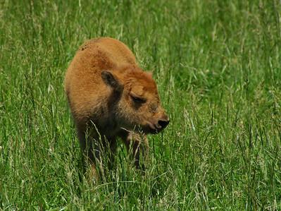 Buffalo calf at Dogwood Canyon, MO