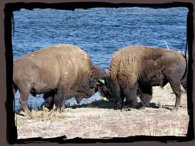 Playful Bison