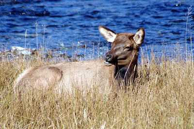 This young doe elk was content to pose by the river
