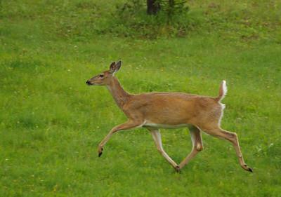 Kananasksis Deer