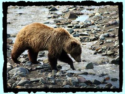 Denali Grizzly -2010