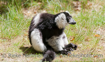 Black-and-white ruffed lemur sitting - Varecia variegata