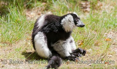 Black-and-white ruffed lemur sitting - Varecia variegata
