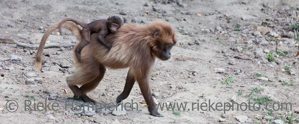 Gelada Baboon mother carrying baby on back - Theropithecus gelada