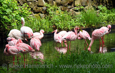 Pink Flamingos - great plumage