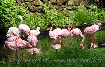 Pink Flamingos - great plumage