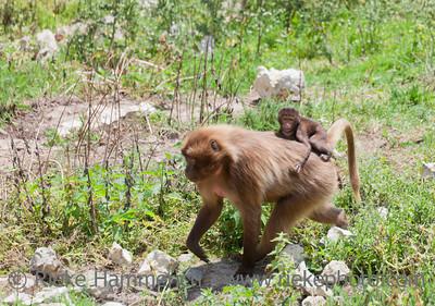 Gelada Baboon carrying baby on back - Theropithecus gelada