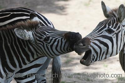 Two zebras bickering - Equus quagga boehmi