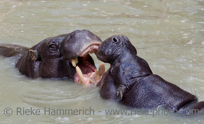 Two pygmy hippopotamus fighting in water - Hexaprotodon liberiensis