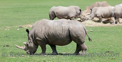 White rhinoceroses in field - Ceratotherium simum simum
