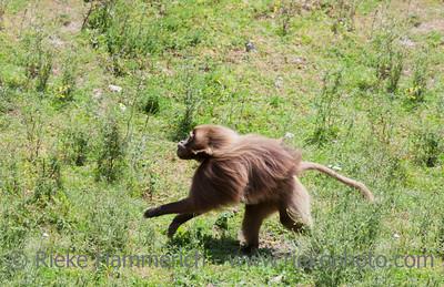 Gelada Baboon running - Theropithecus gelada
