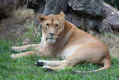 Lioness resting - Panthera leo