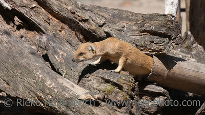 Yellow Mongoose on driftwood - Cynictis penicillata