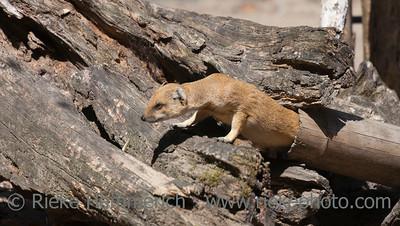 Yellow Mongoose on driftwood - Cynictis penicillata