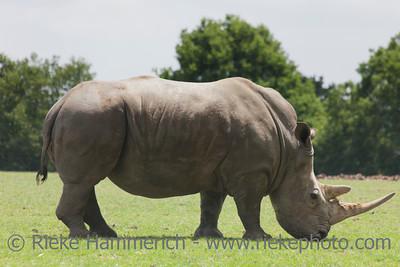 White rhinoceros in field - Ceratotherium simum simum