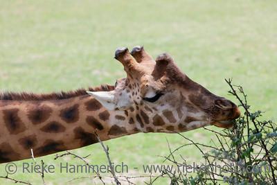 Feeding Giraffe - Giraffa camelopardalis peralta