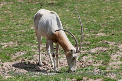 Scimitar Oryx grazing - Oryx dammah