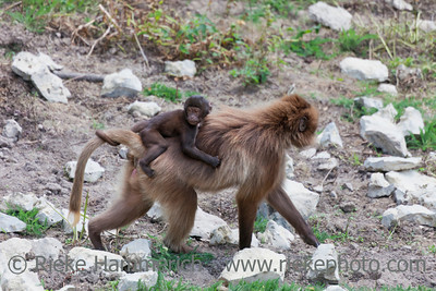 Gelada Baboon carrying baby on back - Theropithecus gelada