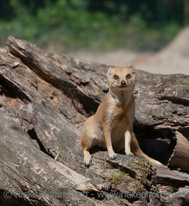Yellow Mongoose sitting on driftwood - Cynictis penicillata
