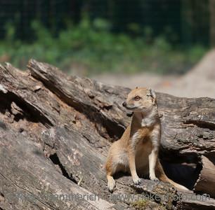 Yellow Mongoose sitting on driftwood - Cynictis penicillata