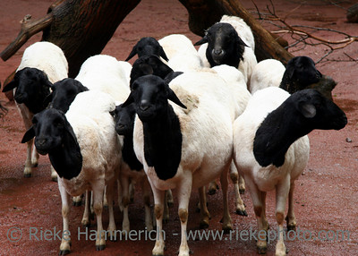 Black and white sheep - Flock of sheep - an african race