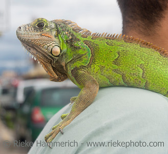 SAN JOSE, COSTA RICA - AUGUST 31: Green iguana relaxing on shoulder of a man in San Jose, Costa Rica on August 31, 2008. Iguanas are large lizards native to South and Central America.
