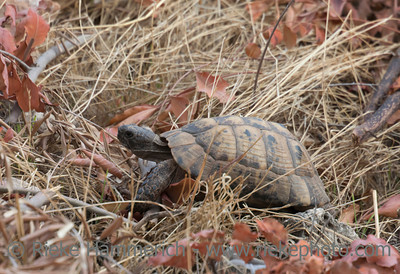 Hermann's Tortoise walking - Testudo hermanni boettgeri in Kas, Antalya Province, Turkey, Asia