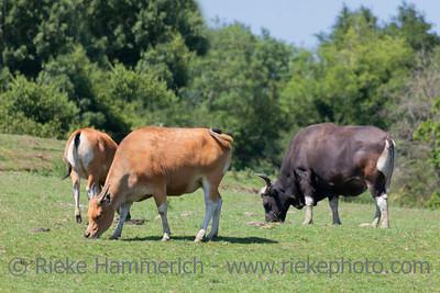 Bantengs grazing - Bos javanicus